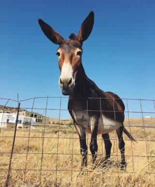 Hi! 🌾  #summer #summerfriends #hi #donkey #summertime #life #14UgoestoTinos #tinos #tinosisland